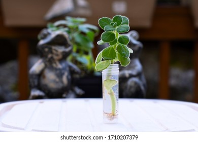 A Mexican Oregano plant growing from a cutting, in water. Propagating plants theme.