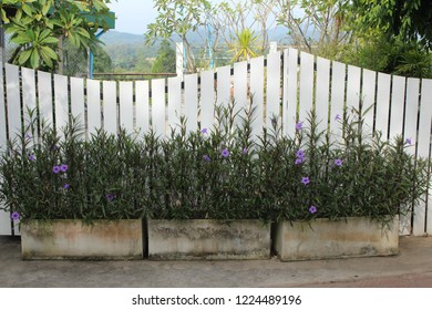 Mexican petunia with blossom purple flowers blooming. in concrete basin, decorating along white wooden slatted fence