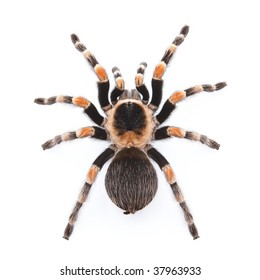 Tarantula Spider Images Stock Photos Vectors Shutterstock
