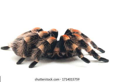 Mexican Red-Knee Tarantula (Brachypelma hamorii) isolated on white background
