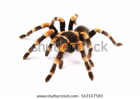 Mexican Redknee Tarantula Brachypelma Smithi Spider Foto de stock ...
