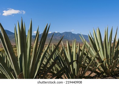 Mexican Scene with agave, mexican cactus for producing mezcal, a typical drink