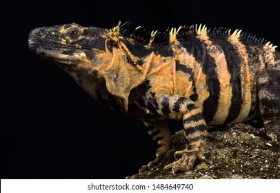 Mexican spiny-tailed iguana (Ctenosaura pectinata)