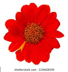 Mexican sunflower isolated on white background