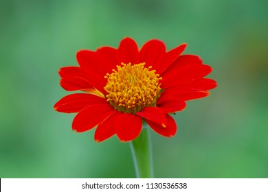 Mexican sunflower on green background