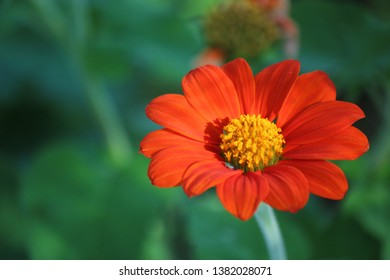 mexican sunflower orange coler flower bloom beautifully in the garden.