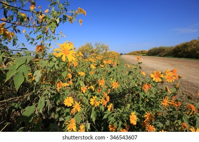 Mexican sunflower weed (Tithonia diversifolia) with blue sky