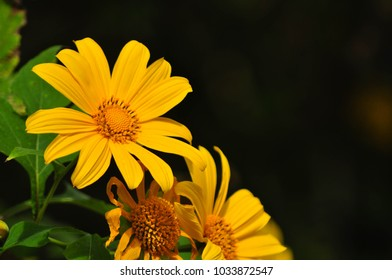 Mexican sunflower in the wild contrast with black background.