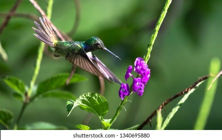 Mexican violetear (Colibri thalassinus), feeding from a flower on the Osa Peninsula, Costa Rica.