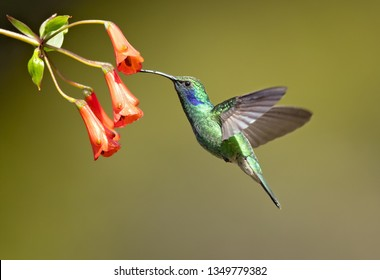 Mexican violetear (Colibri thalassinus) is a medium-sized, metallic green hummingbird species commonly found in forested areas from Mexico to Nicaragua.