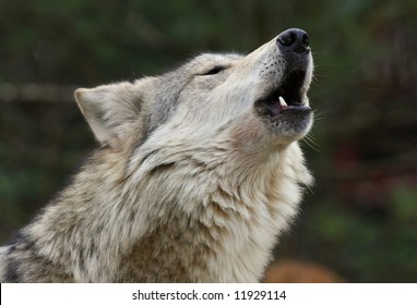 Mexican Wolf Howling