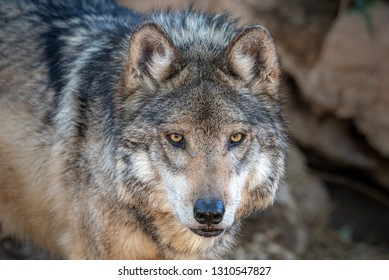 Mexican Wolf - Lobo Mexicano