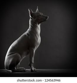 Mexican xoloitzcuintle dog on low key photo