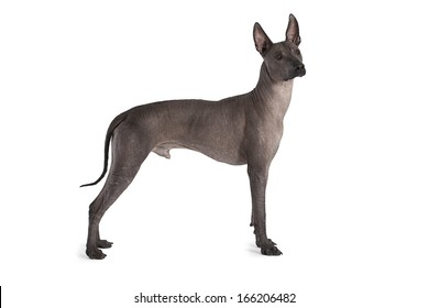 Mexican xoloitzcuintle male dog against white background