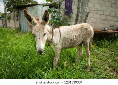 Mexico, Chiapas, Tuxtla Gutierrez, Buenos Aires area. A little burro/donkey tied up in someone's yard.