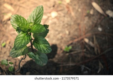 Mexico City, Mexico - July 16, 2017: Mint grows in a quiet corner of a public park's botanic garden.