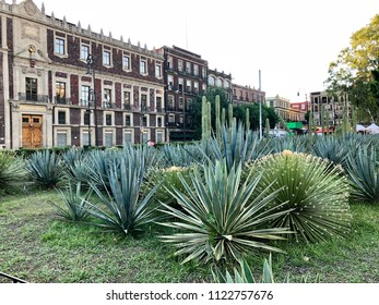 MEXICO CITY, MEXICO - May 28, 2018; Agave and cactus plans grow in the small park next to the Metropolitan Cathedral in Zocalo, Mexico City.