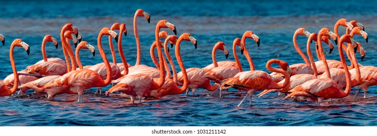 Mexico. Flock of American flamingos (Phoenicopterus ruber, also known as Caribbean flamingo) in Celestun Biosphere Reserve