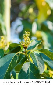 mexicola avocado tree set with buds and flowers in springtime, green leaves and yellow flowers, buds of avocado tree, blossoming fruit tree, tree setting fruit in spring