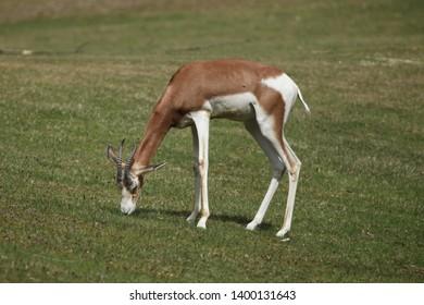 Mhorr gazelle (Nanger dama mhorr), also known as the dama gazelle.