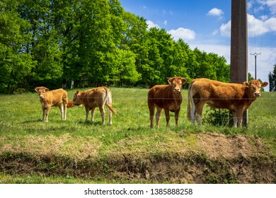 Miallet, Dordogne/France - 05/01/2019 : Four young cow on the grass