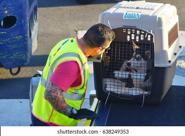 MIAMI, FL -3 MAY 2017- A baggage handler from American Airlines (AA) being nice to a dog in a crate to be loaded into a plane at the Miami International Airport (MIA), a major hub for American.