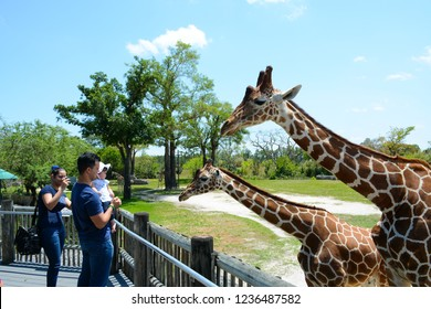 MIAMI, FL, USA - APRIL 29, 2018: Giraffes in Miami Zoo, Florida