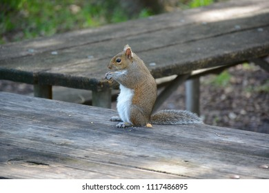 Miami, FL, USA - DECEMBER 4, 2017: Squirrel sitting on the table at Greynolds Park and Golf course located in North part of Miami, Florida