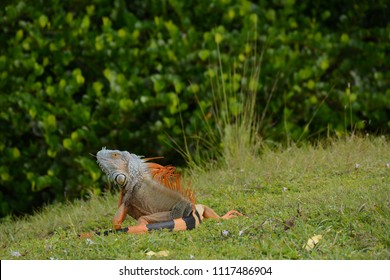 Miami, FL, USA - DECEMBER 4, 2017: Wild Iguana in Greynolds Park and Golf course located in North part of Miami, Florida