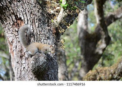 Miami, FL, USA - DECEMBER 4, 2017: Squirrel on the tree at Greynolds Park and Golf course located in North part of Miami, Florida