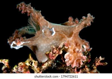 Miamira alleni Indo Pacific nudibranch