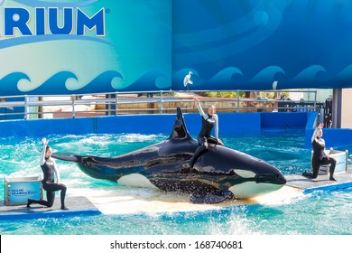 MIAMI,US - DECEMBER 8,2013: Lolita,the killer whale at the Miami Seaquarium.Founded in 1955,the oldest oceanarium in the United States,the facility receives over 500,000 visitors annually