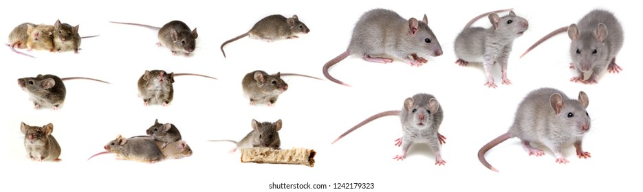 mice collection isolated on white