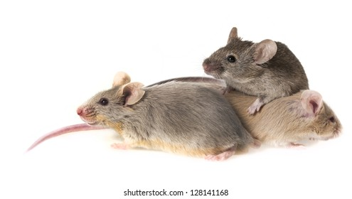 mice isolated on a white background