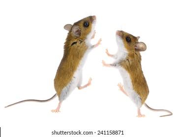 Mice playing & Dancing - Brown Deer Mouse climbing