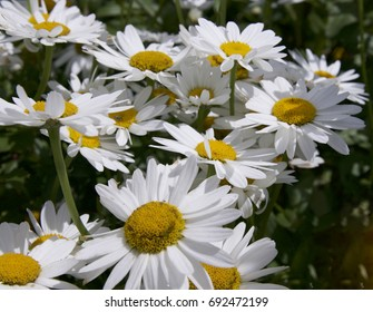 Michaelmas Daisy Flowers