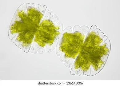Micrasterias truncata - algae - chlorophytes - desmidiacea - cell division - Desmid algae - brightfield