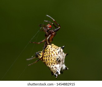 Micrathena gracilis, Spiny Orbweaver spider, hanging on her web strings with a red-eyed fly she caught