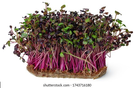 Micro green sprouts of radish isolated on white