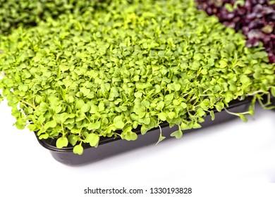 micro greens mizuna sprouts