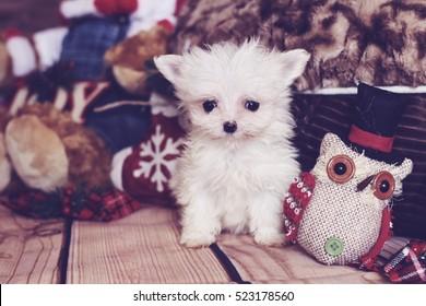 micro maltese puppy holiday