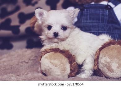 micro maltese puppy with teddy bear