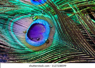 micro peacock feather HD image,best texture background, colourful indian peacock feather