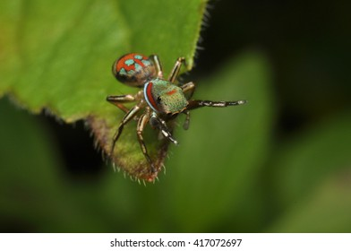 The micro photo of jumper spider on leave
