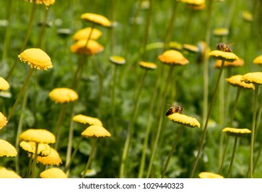 Micro Shot of Bees on Yellow Flowers in Front of Green Field
