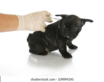 microchipping puppy - french bulldog puppy being microchipped - 8 weeks old