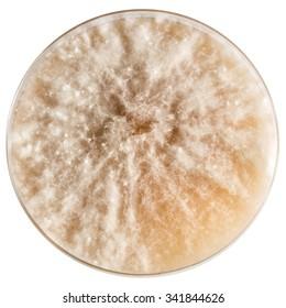 Microdochium nivale in potato dextrose agar