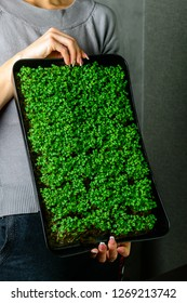 microgreen arugula sprouts in female hands Raw sprouts, microgreens, healthy eating concept