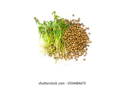 Microgreen coriander isolate on a white background. Selective focus. Food.