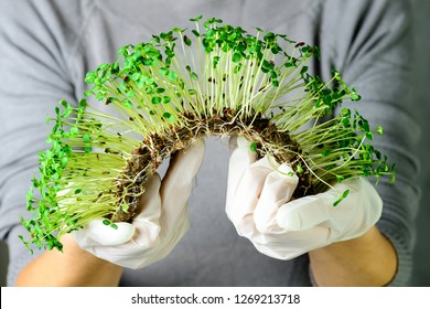 microgreen corundum coriander sprouts in female hands Raw sprouts, microgreens, healthy eating concept